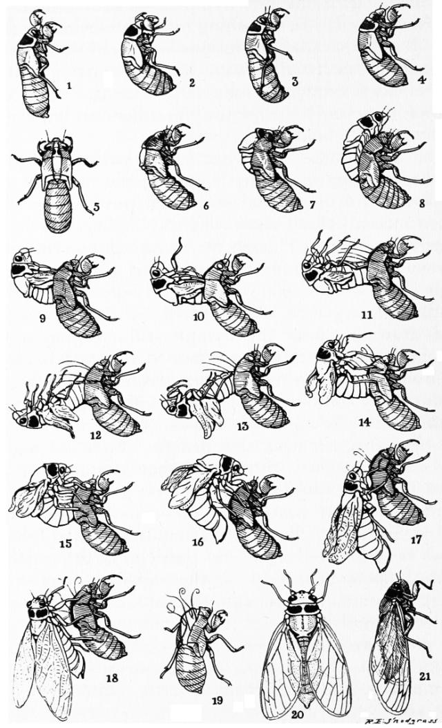 Cicada-Life-Cycle