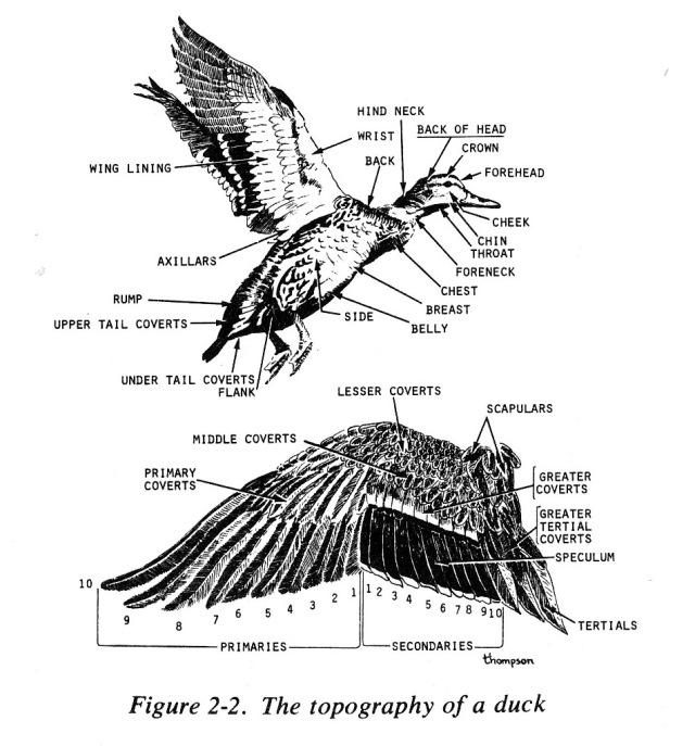 duck topography